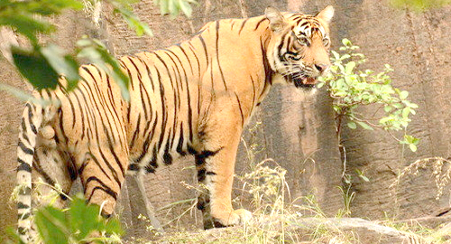 Ranthambore Tigers Reserve