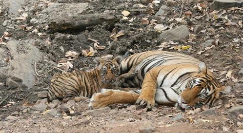 Ranthambore tiger t 39