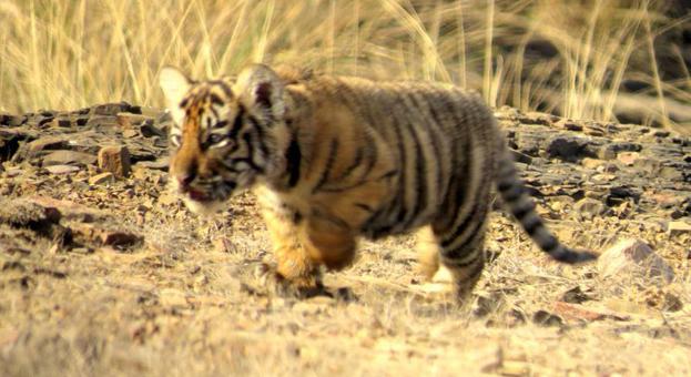 Tiger Day Ranthambore
