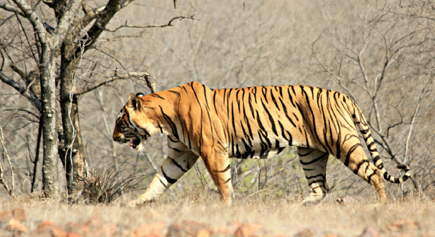 Tigers to be shifted from Ranthambore
