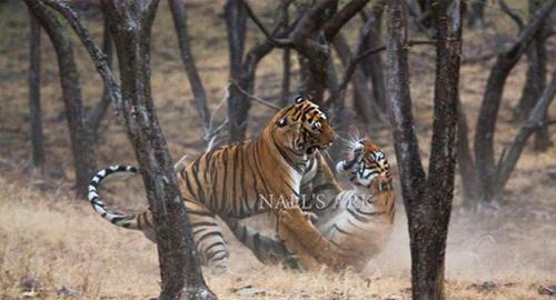 Ranthambore Park Tiger