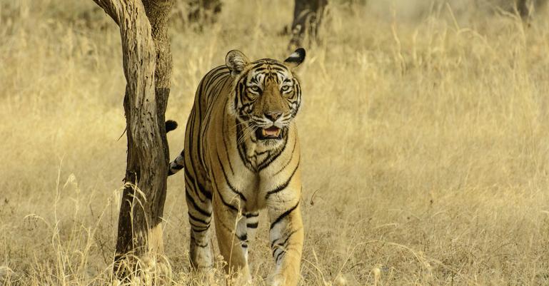 Krishna Tiger