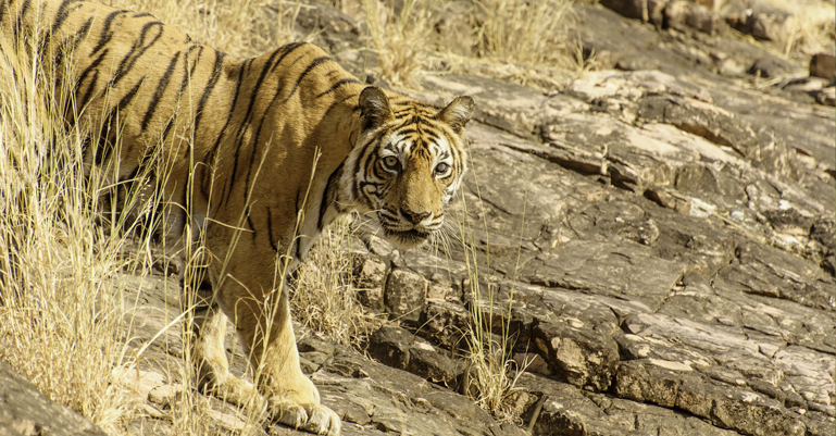 Machli Tigress Ranthambore