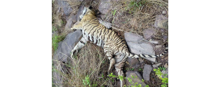 T-11 Tigress Found Dead in Ranthambore