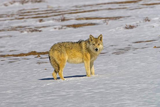 ibetan Wolf