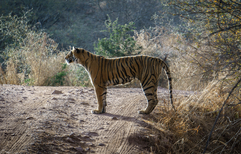 Arrowhead Tigress Ranthambore1