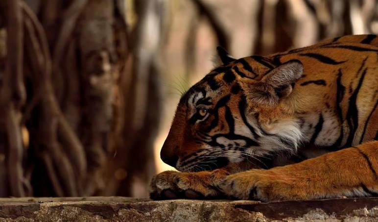 Arrowhead Tigress Ranthambore