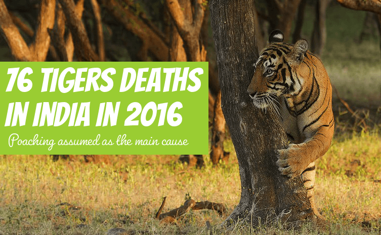 tigers deaths 2016