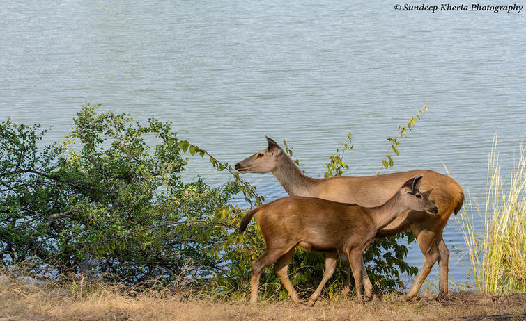 Deer at Ranthambore National Park