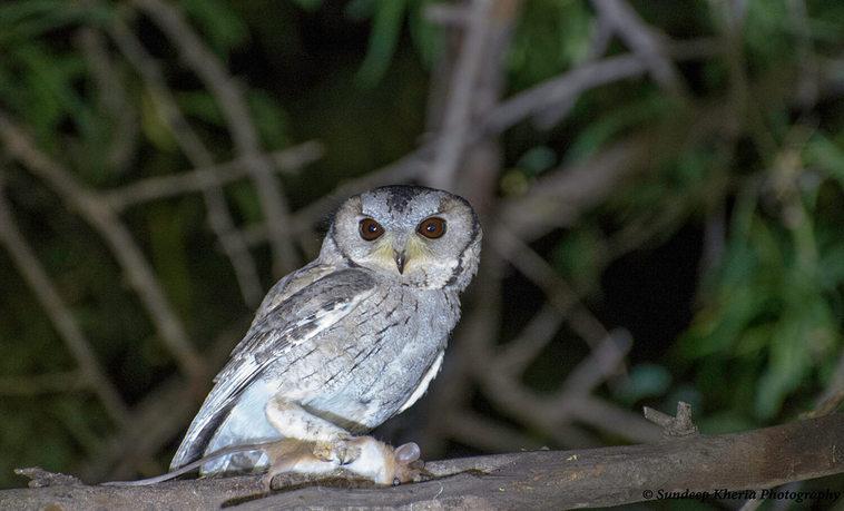 Owl- Ranthambore Park