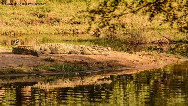Crocodile at Ranthambore Park