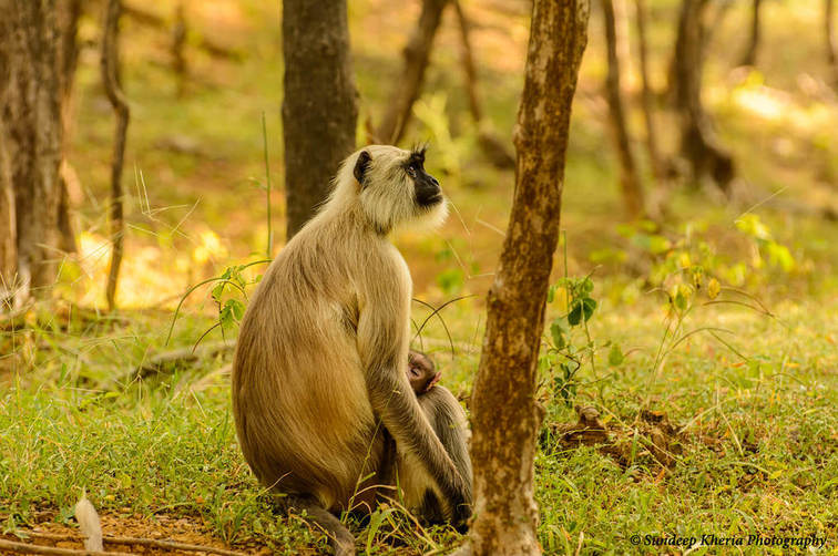 Monkey at Ranthambore