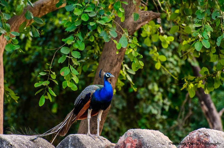 Peacock At Ranthambore Park