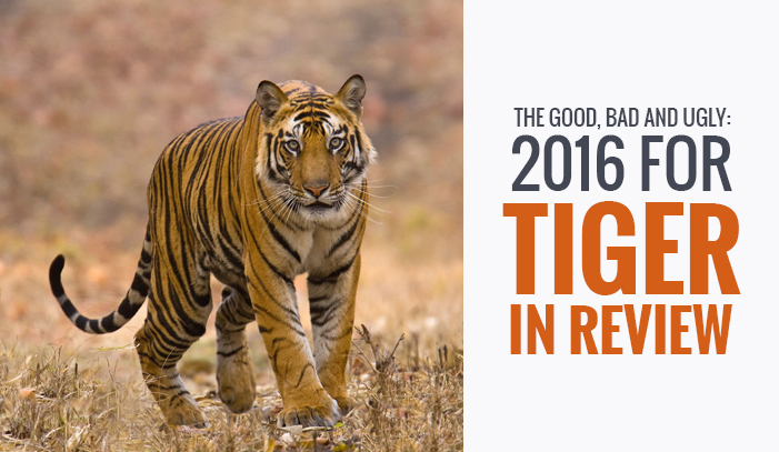 Tiger in Review