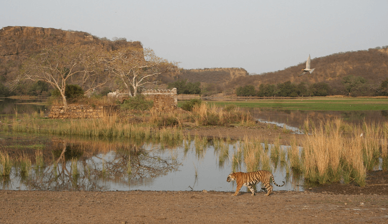 Ranthambore Tiger Sighting