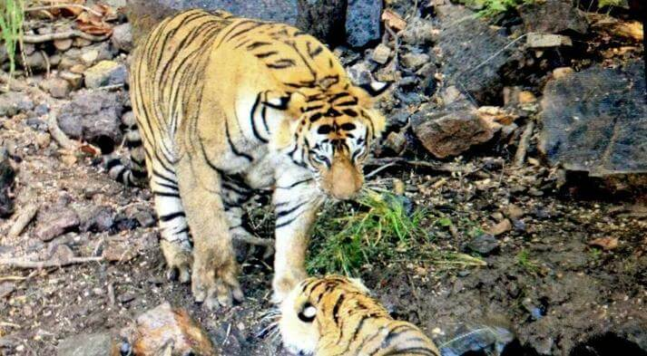 Fight Between Two Tigers in Ranthaambore