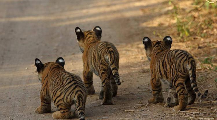 Tiger cubs Ranthambore