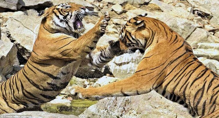 Ranthambore Tiger Fight