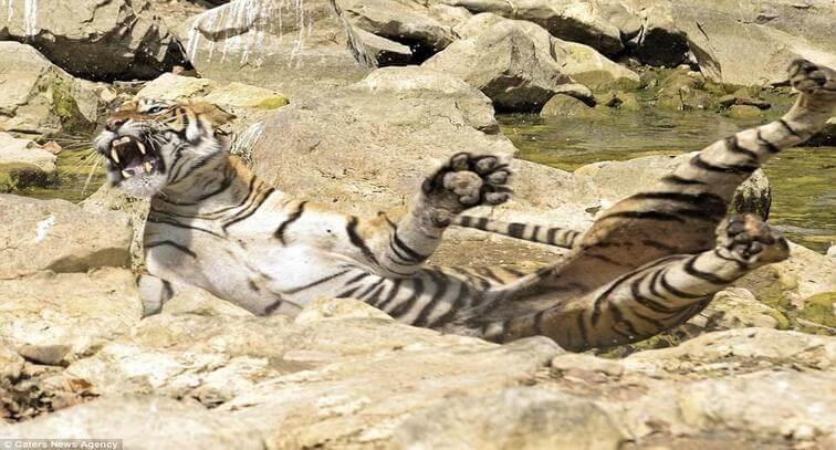 Ranthambore Tiger Fight