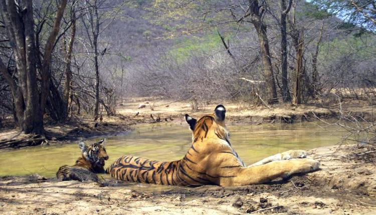Tigress T-69 with her New Born Cub