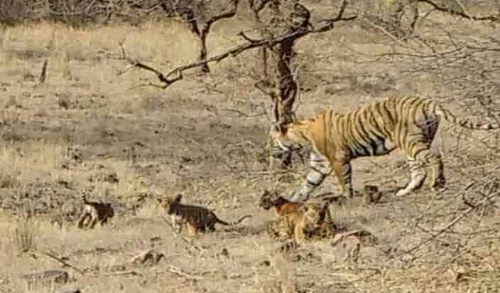 Tigress T-19 (Krishna) with 4 Cubs