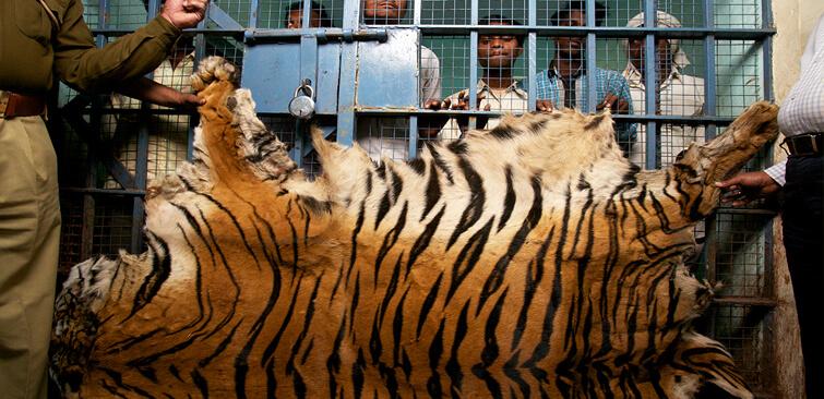 First-Step-Toward-Saving-Tigers