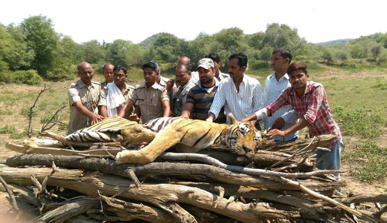 Died Tiger T-33 Hmair of Ranthambore National Park