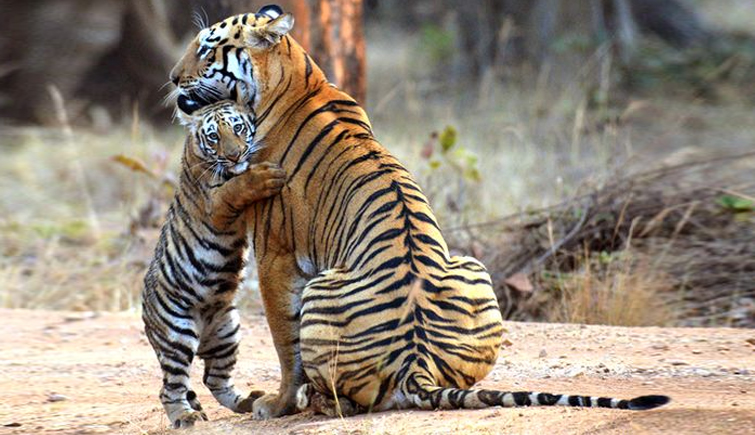 Tigress-with-Cub