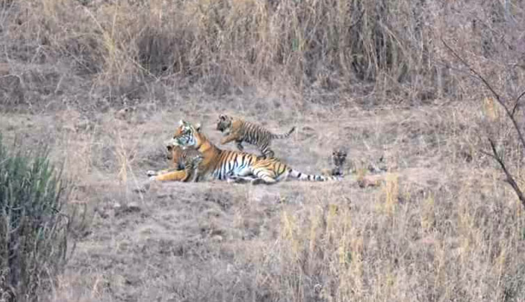 Tigress T-8 with three cubs