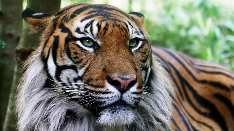 Aged Tiger - Old Tiger