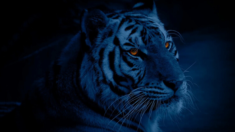 Nocturnal Tigers