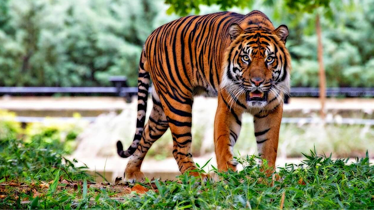 Humble Tiger