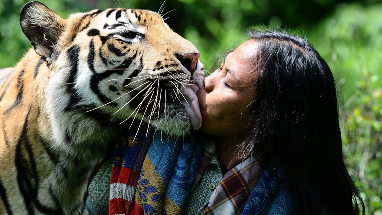 Tiger and human love