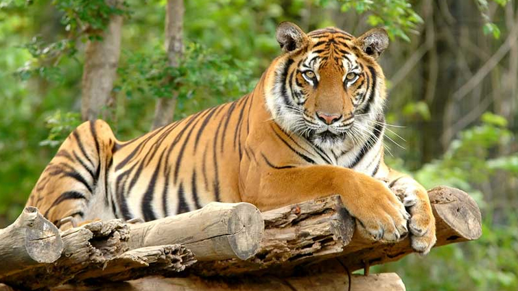 Tigers can imitate the call of other animals
