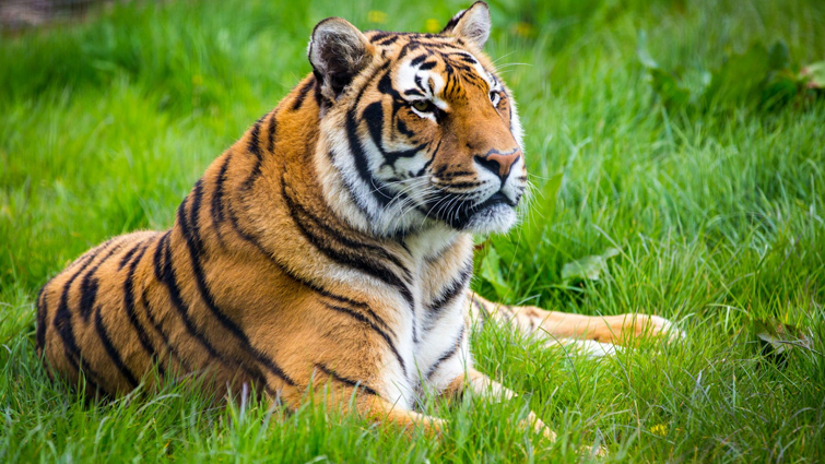 Tiger sitting on Grass