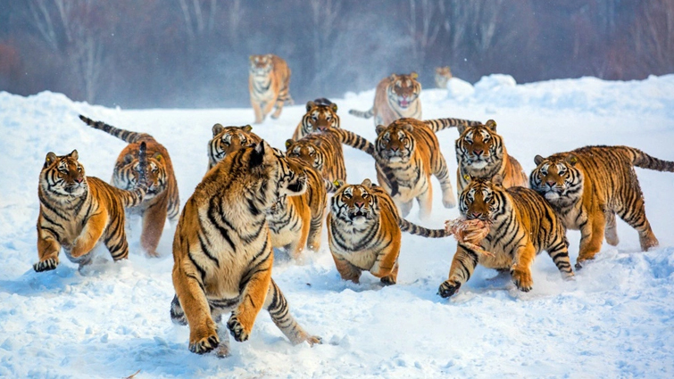 Tigers Ambush