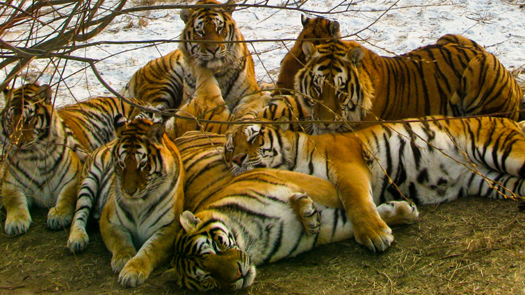 Tigers Group