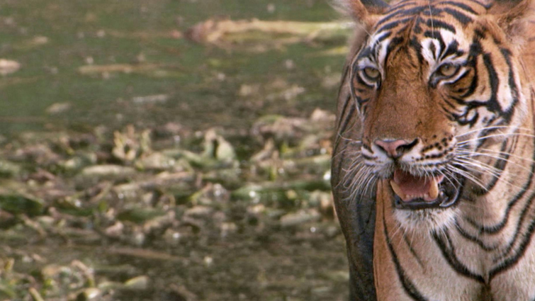 Tigers Urine Smell like Buttered Popcorn