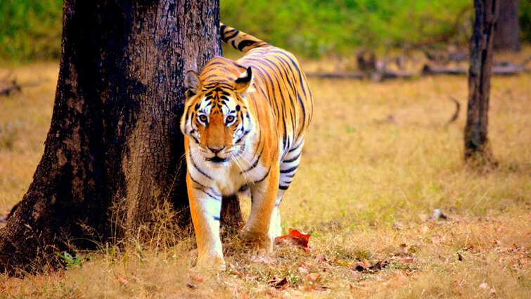 Tigers - largest amongst other wild cats
