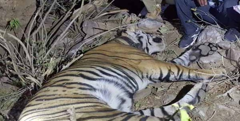 Sariska ST-11 Tiger Died