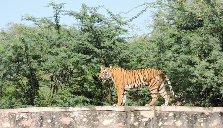 Ranthambore's-Tigress-T-83