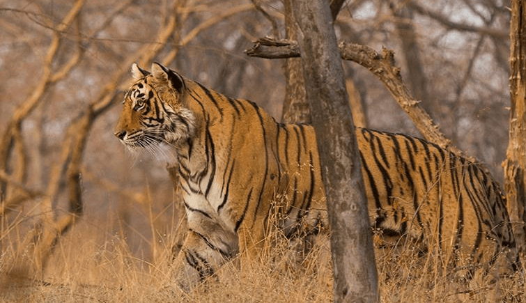 T-83 in Ranthambore National Park