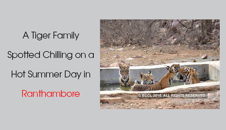 Tiger Family Spotting Ranthambore