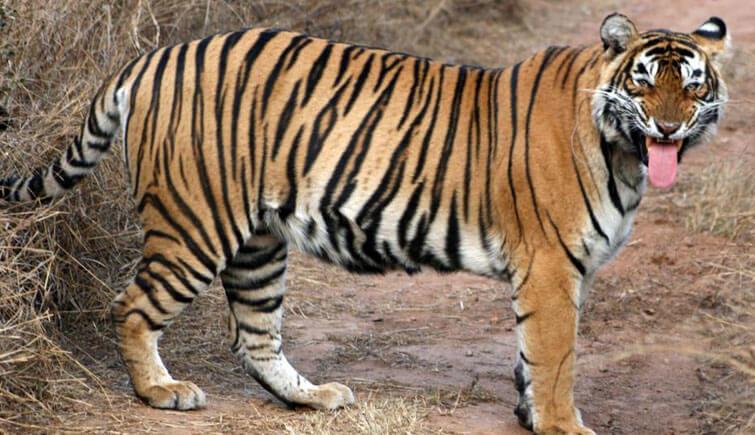 Tigress to Relocate Mukundra