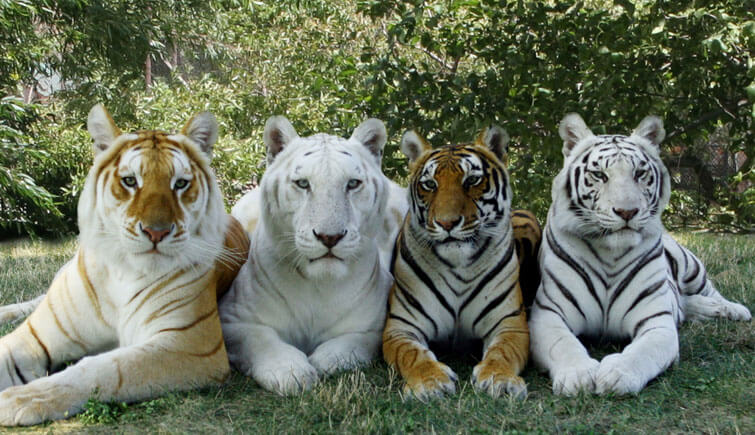 Tiger Breeds in India