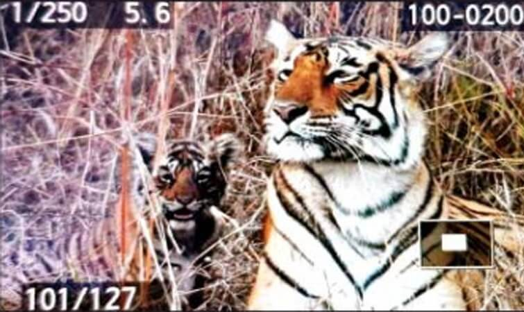 Tigress T-84 with her cubs