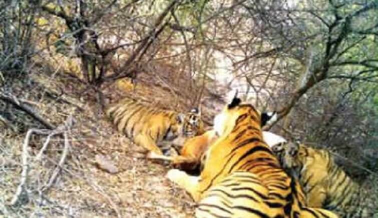 Tigress t-69 with her cubs