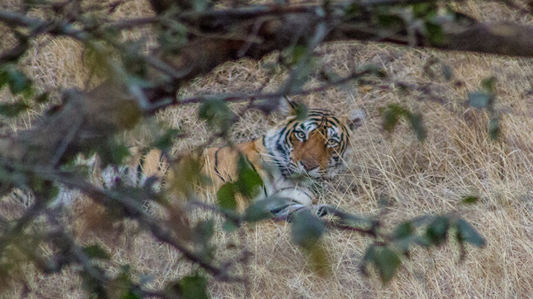 Sleeping Tiger Ranthambore