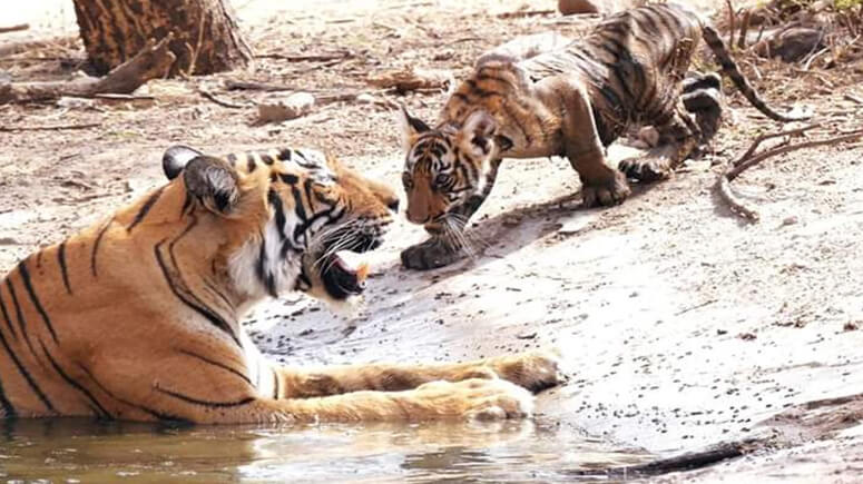 Tigress T-73 with Cub