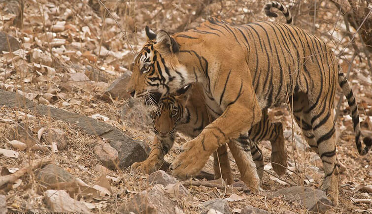 Tigress T60 with her Cub